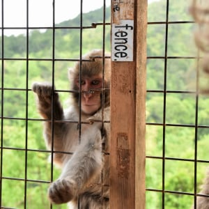 サルの楽園!ひたすら餌をもらう『嵐山モンキーパーク』の猿たちが怠惰すぎる[動画]