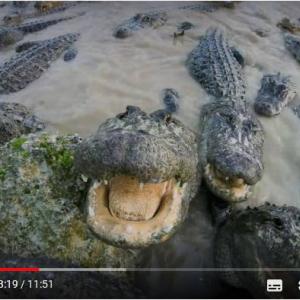 動画:ワニだらけのプールに入る……って正気なの!?