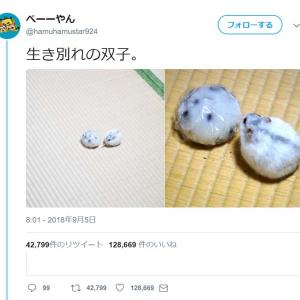 ハムスターの「生き別れの双子」ツイートに「本物の豆大福かと」「感動の再会ですね」12万いいね超