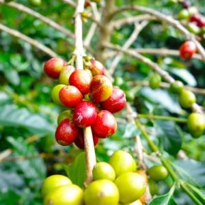 キーコーヒーからパイナップルみたいなコーヒー? 謎の新加工技術『KEY-POS』についてインドネシアの生産担当役員にメールインタビュー