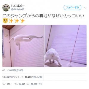 猫の「ジャンプからの着地がなぜかカッコいい」ツイートに「忍びの者のようです」「アクションスター」コメント集まる
