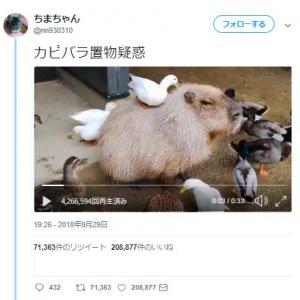 「カピバラ置物疑惑」動画ツイートが「どっしり感」「動じないカピバラ大物」と話題に