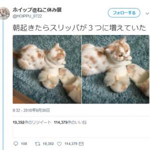 猫のホイップさん「朝起きたらスリッパが3つに増えていた」ツイートに「仲間だと思うのかな?」と話題に