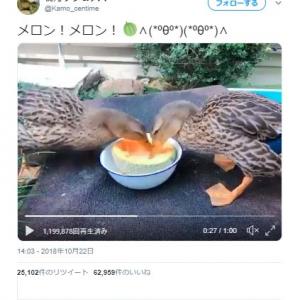 鴨がメロンを夢中で食べる動画ツイートが話題に「ほとばしるメロン汁がすげえ」「ドリル作業員」