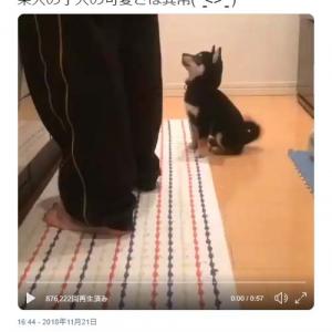 柴犬の子犬が「オスワリ」をすると後ずさってしまう動画が話題に「仕事休憩中に癒されました」「悶絶のかわいさ」