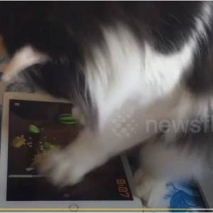 飼い主より上手いにゃ 一心不乱に『フルーツニンジャ(Fruit Ninja)』をプレイする猫が中国にいた