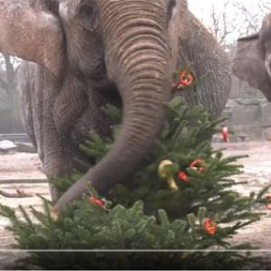 おしらせ:ベルリンの動物園ではゾウの檻に入れられたクリスマスツリーが食べられています