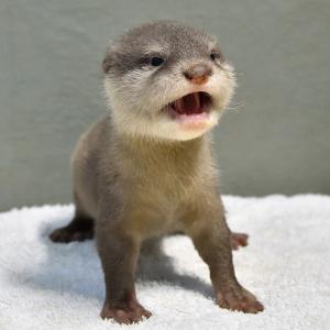 サンシャイン水族館で初誕生のコツメカワウソの赤ちゃんが1月16日から一般公開! 小さな愛らしい姿を見られるのは今だけ!