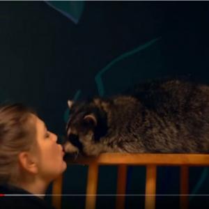 もうゴミパンダとは言わせないのだ! ロシアでは「アライグマカフェ」が人気なのだ!