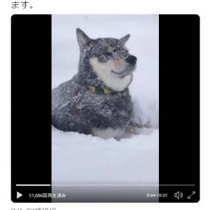 吹雪でも落ち着いている黒い柴犬の動画に「みるみる白柴ちゃんに」「動じませんね」の声