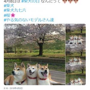 柴犬が3匹並んだ結果→「なにこの可愛いケルベロス」「3人いると、可愛さ9倍」