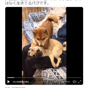 """柴犬がパグを""""ムニュムニュ""""する動画が話題に「クッションと間違えられる」「膝上の奪い合い」"""