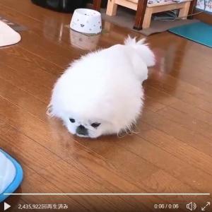 """ペキニーズ犬が""""ふせ""""をした結果→「アザラシにトランスフォーム」「イッヌからのアザラッシ」"""