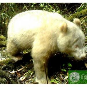 アルビノのパンダが世界で初めて撮影される 真っ白のパンダはシロクマと間違えそう