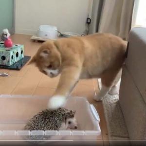 猫がハリネズミをちょっただけ触って立ち去る衝撃動画に「トゲが丁度いい刺激なのかな?」「触り方わろた」の声