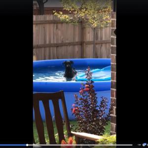 動画:プールではしゃいでいるところをこっそり撮影されていることに気付いた犬の反応