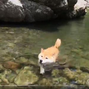 柴犬が川遊びする動画が話題に「ご主人、わたくしの泳ぎはいかがでしたか? みたいな顔」「清流とイッヌ」