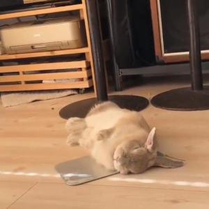 ウサギがアルミ板に寝っ転がる動画が話題に「ひっくり返るように横になりますよね」