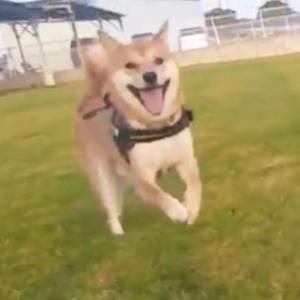 柴犬が嬉しそうな表情をして走る動画に「見てるこっちまで嬉しくなる」「めっちゃ笑顔じゃん!」共感多数