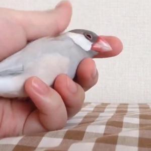 文鳥を握る動画がネットで反響「寿司の手つき」「尊い」