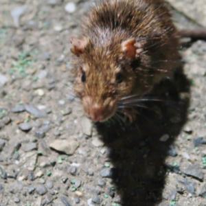 戦慄! クマネズミが急増中「ネズミ駆除業者」に話を聞いてみた