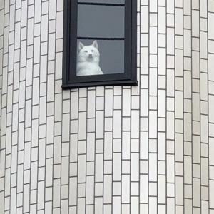 白い柴犬が朝マックを買いに行く飼い主を監視する姿に「どちらが飼い主ですか」「ラプンツェル」ツッコミ多数