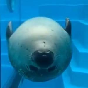 アザラシが水中を仰向けに泳いだ結果→「アザラシ弾」「魚雷かと思った」