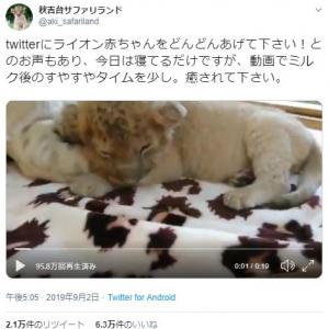 ライオンの赤ちゃんの寝姿がネットで反響「ぬいぐるみみたい」「リアルライオンキング」