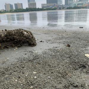 水質問題が騒がれるお台場海浜公園でハマグリを発見! 食べられるらしいので食べてみた