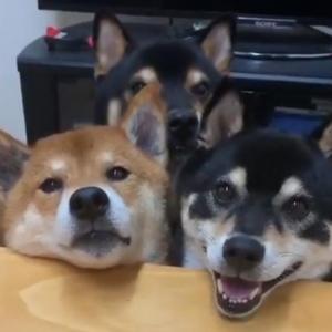 柴犬が1匹控えめに写る動画が話題に「いつも一歩後ろから2人を見守ってくれている」