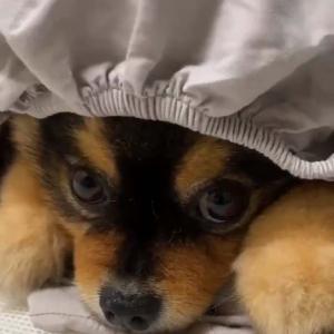 ポメラニアンがシーツをかぶった結果→「給食帽らしき帽子かぶった犬に」「コックの帽子」