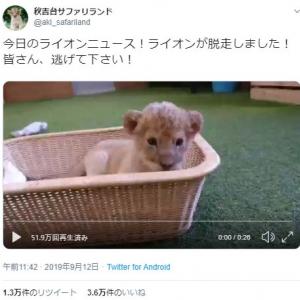 ライオンの赤ちゃんが脱走する動画が話題に「逃げろー可愛さでやられるぞー」