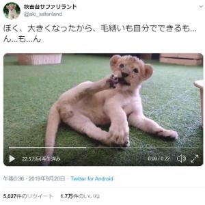 ライオンの赤ちゃんが毛づくろいする姿に「ライオンキングのシンバにそっくり」「茶色の肉球がたまりません」の声