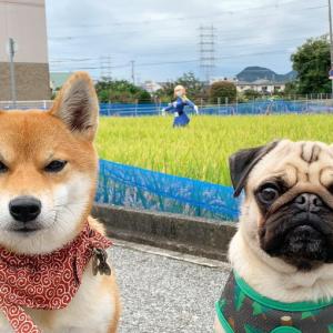 柴犬とパグとナウシカかかしの撮影ショットが話題に「かぶらないようによけていて、けなげ」「ワンコがジワる」