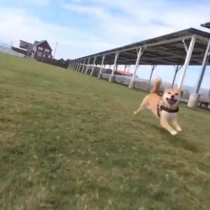柴犬が映画のワンシーンのように疾走する姿に「鼓動が伝わる感じがイイ」の声