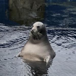 アザラシを見に行った結果→「露天風呂のオッサンやないか」「完全にいい湯に浸かってますね」