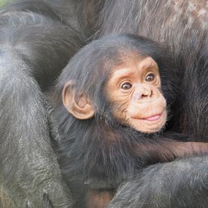 動画:「たかいたか~い」と赤ちゃんをあやすチンパンジー