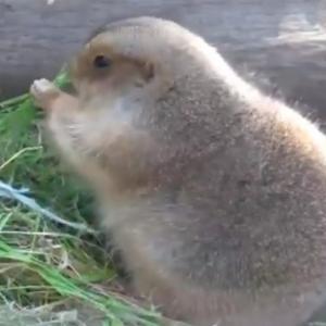 冬毛仕様の上野動物園プレーリードッグがモフモフ! 動画ツイートが話題に「こんなにふっくらするんだ」「銘菓ひよ子に似てる」