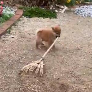 柴犬の子犬が庭掃除する動画がネットで反響「可愛い庭師ですねえ」「お掃除してえらい」