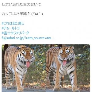 トラが舌をしまい忘れた結果→「カッコよさ半減」「そんな事もあるでしょう?」