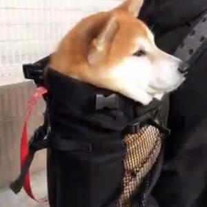柴犬が背負われて初詣に行った結果→「温かくて良いリズムでウトウト」「楽ちんだワ〜ン」