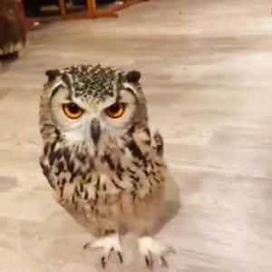 フクロウが駆け寄る動画に「ちょっとドヤ顔の表情もいい」「途中からエコモードに切り替わる」の声
