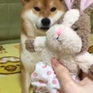 柴犬に間違って小型犬用のおもちゃ買ってしまった結果→「人形の遊び方が大人しい」