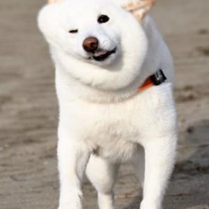 白い柴犬が「つきたてのお餅っぽい」 ツイート投稿に「ぽよんぽよ〜んぽよよ〜んて音が聞こえました」「モッチモチ」の声