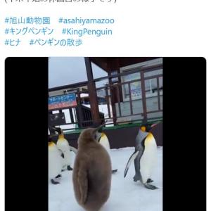 """ペンギンが休園日に""""ぺたぺた""""歩いた結果→「キウイフルーツが歩いてる」「ヒナのラスボス感」"""