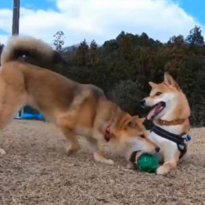 柴犬が柴犬にボールを奪われた結果→「気づくのが遅い」「それでもずっと尻尾振ってる」