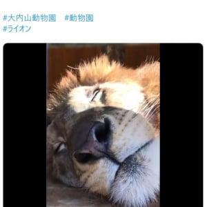 ライオンのお昼寝姿に「抱っこして一緒に寝たい」「近い〜!」の声