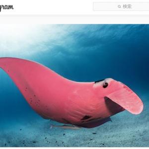 """神秘的すぎるピンク色のマンタ(オニイトマキエイ) 「世界唯一のピンク色のマンタは""""クルーゾー警部""""と呼ばれています」"""