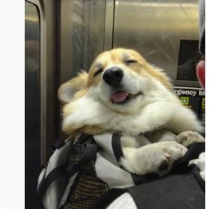 """おんぶが気持ち良いのか地下鉄の揺れが気持ち良いのか…… TVCM出演歴もある""""インフルエンサー犬"""""""