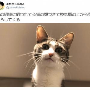 ニャンという迫力……! 「悪の組織に飼われてる猫の顔つき」で見下ろす猫がTwitterで話題